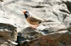 Perfect Long-tailed Finch