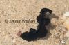 Black Velvet Flatworm