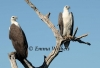 Pair of White-bellied Sea-eagles