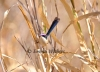 Cane Grass Purple-crowned Fairy-wren