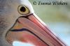 Breeding Colours - Australian Pelican