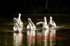 Cruising Pelicans