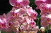 Pink Mottled Orchids