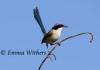 Lookout - Purple-crowned Fairy-wren