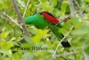 Feeding Red-winged Parrot