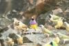 Finch Flock
