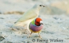 Adult & Juvenille Gouldian Finches