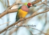 Mature Red-headed Gouldian Finch