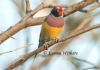 Gouldian Finch - Red Phase