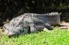 At Ease - Saltwater Crocodile