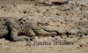 Camouflaged Saltwater Crocodile