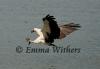 Feet Down - White-bellied Sea-eagle
