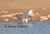 Sea Eagle Wading
