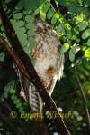 Snoozy Boobok Owl