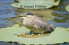 Ambush Strategy - Striated Heron