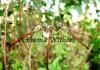 Australasian Slimwings