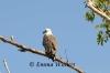 Watchful Sea Eagle