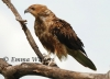 On the Lookout - Whistling Kite