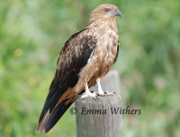 Perched Whistling Kite
